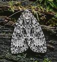 Acronicta fragilis
