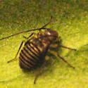 Springtail, species or behavior info? - Cerastipsocus venosus
