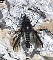 Bee Fly? - Thevenetimyia - male