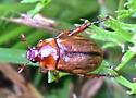 Brown Beetle - Anomala