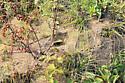 ant mound - Formica pallidefulva