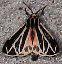 Apantesis phalerata (maybe) - Apantesis