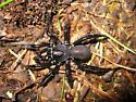Trap-door Spider - Ummidia