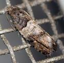 banded leafroller - Olethreutes fasciatana
