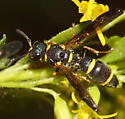 Unknown Hymenoptera - Parancistrocerus perennis