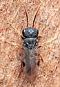 Dryinidae? - male