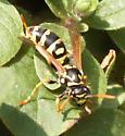 Wasp - please ID - Polistes dominula