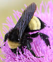 American Bumble Bee? - Bombus pensylvanicus - female