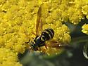 fly - wasp mimic - Spilomyia liturata