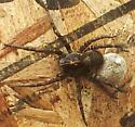 Wolf SPider with egg sac - Tigrosa georgicola - female