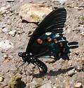 Lepidotera, feeding on creek bank - Battus philenor