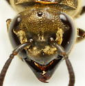 20160818CH01 - Brachygastra mellifica - female