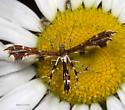 Plume Moth on Daisy - Geina