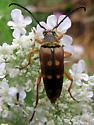Flower Longhorn Beetle - Typocerus velutinus