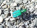 Beetle - Cicindela sexguttata