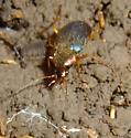 Ground Beetle?