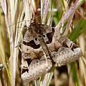 Mystery Moth - Euclidia ardita