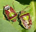 lilac stink bugs - Banasa dimidiata - male - female