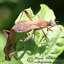 Broad-headed Bug - Alydus pilosulus - male - female