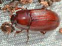 beetle022818 - Uloma imberbis