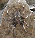 Agressive spider - Araneus saevus - male