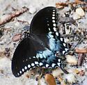 Female Papilio troilus - Spicebush Swallowtail - Hodges#4181 - Papilio troilus - female