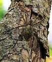 . - Dolomedes albineus
