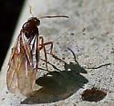 Queen of False Honeypot Ants - Prenolepis imparis - female