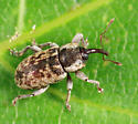 weevil - Pachytychius haematocephalus