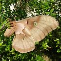 Florida Polyphemus - Antheraea polyphemus - female