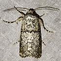 Sympistis perscripta