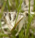 Moth in grass like Caenurgina erechtea - Caenurgina