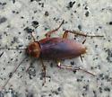 American Cockroach - Periplaneta americana
