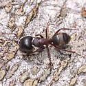 Fat-headed ant - Camponotus herculeanus - female