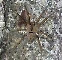 Tiny spider on cement - Oecobius