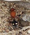 ant - Dasymutilla quadriguttata - female