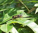 Black Wasp - Sphex nudus - male