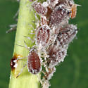 aphids on buttonbush - Aphis cephalanthi