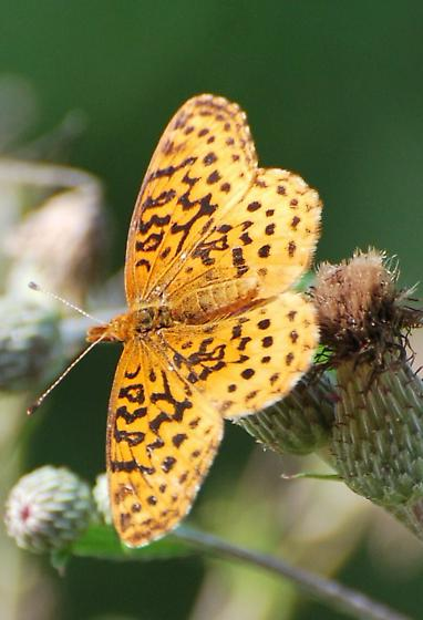 Not sure what I am? Fritillary???? - Boloria bellona