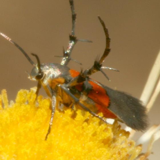 Moth - Aetole unipunctella