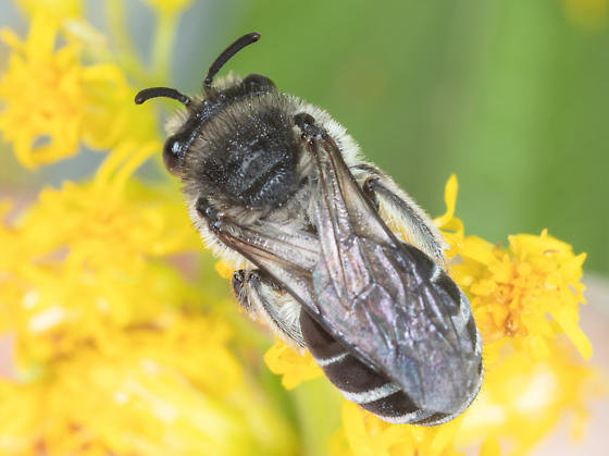 Female Cellophane bee  - Colletes - female