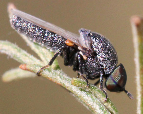 Which fly is this? - Metatrichia bulbosa - male