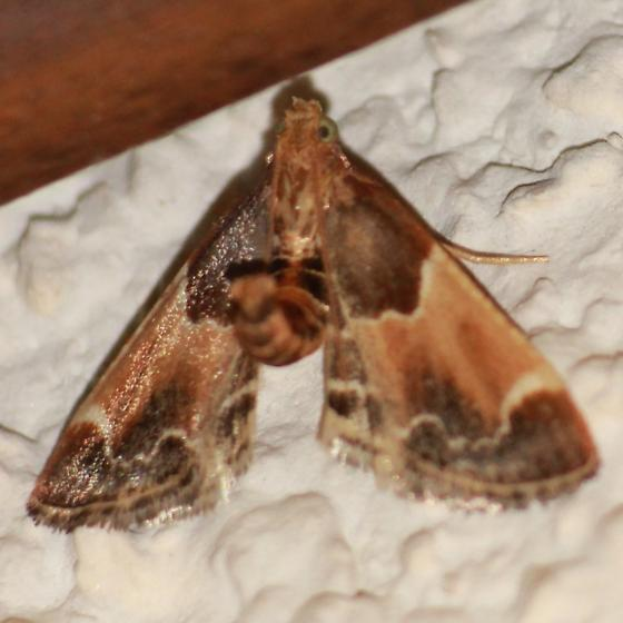 Meal Moths - 5510 - Dorsal - Pyralis farinalis