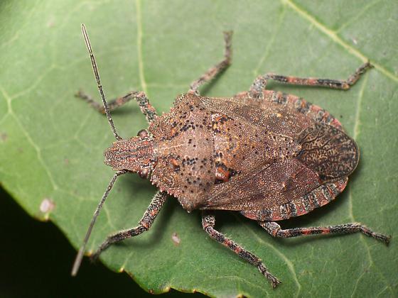 Mystery Shield Bug - Brochymena quadripustulata