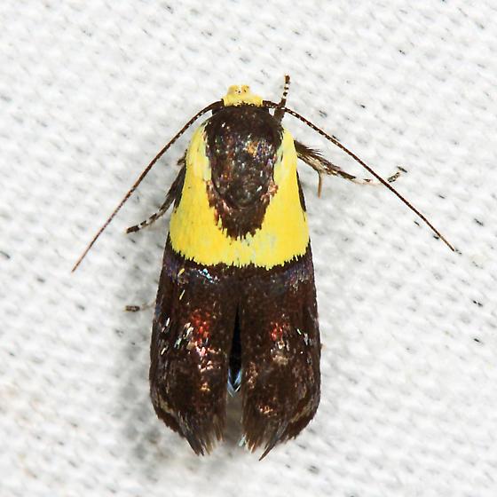 Yellow-vested Moth - Rectiostoma xanthobasis