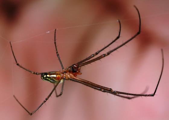 Another Coloful Spider - Leucauge argyra - male