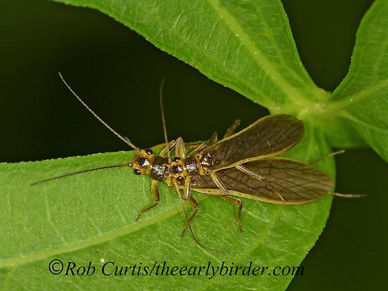 1303812 Plecoptera - male - female