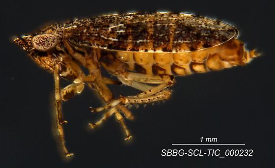 SBBG-SCL-TIC_000232 - Tiaja