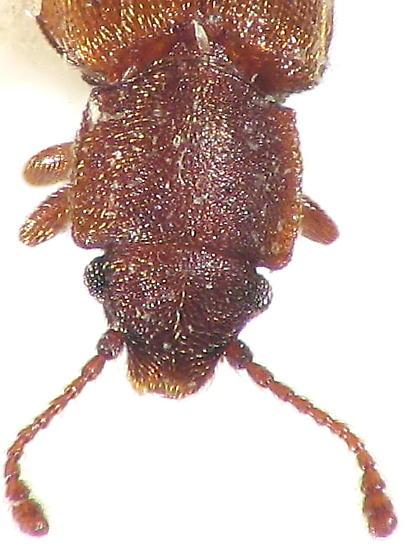 something in Cucujoidea? - Ahasverus new