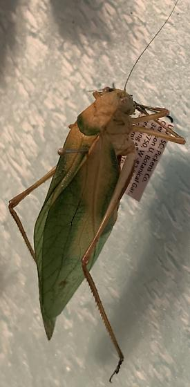 Katydid - Microcentrum - female